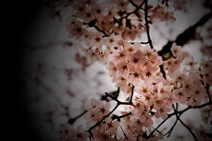 Watching the Sakura by Nicky Fernandes